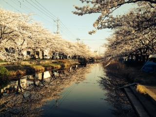 葛西用水桜
