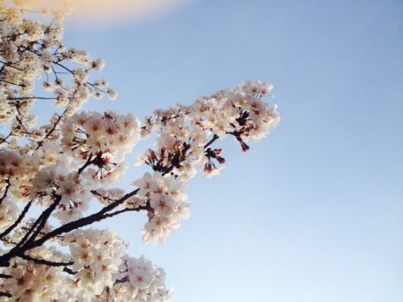 桜4.2②