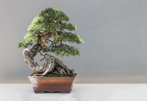bonsai-1805501_640
